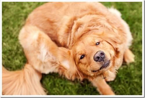 Средства для выведения блох у собак