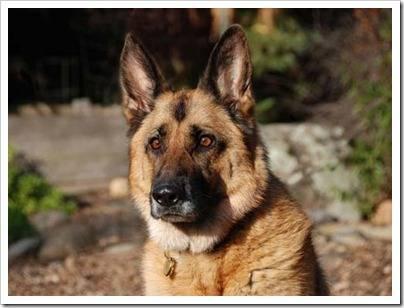 Охранная собака – умная собака