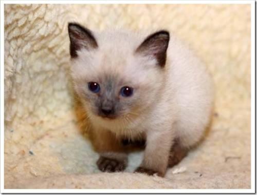 Котенок скиф-той-боб
