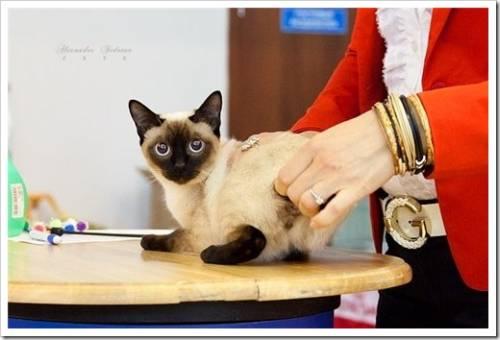 Порода кошек «той-боб»