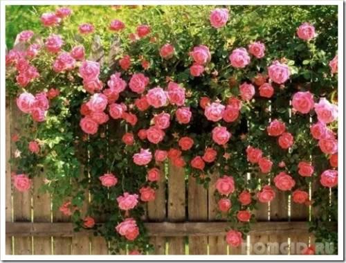 Как высаживают пионовидные розы?