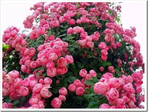 Методика выращивания пионовидной розы