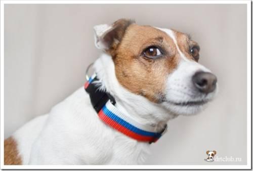 Адаптированный пёс из приюта раньше никогда не носил ошейника