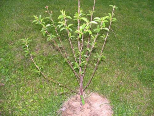 Как посадить вишню весной саженцами