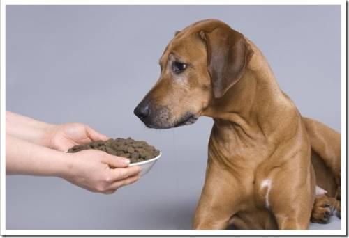 Собака может не воспринимать сухой корм