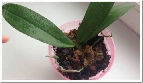 Почему орхидея не цветет?
