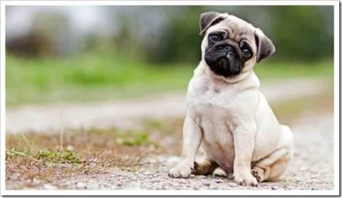Как правильно выбрать щенка мопса