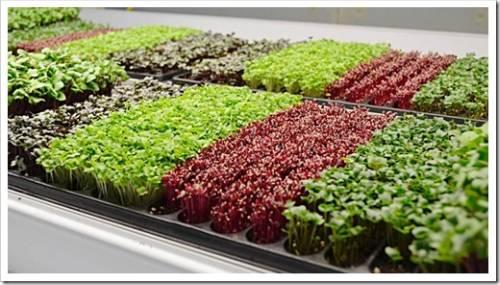 Что собой представляет микрозелень?