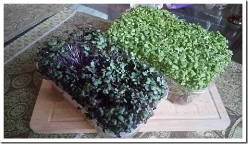 Применение микрозелени в кулинарии